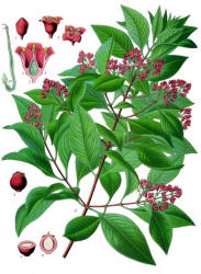 Source: from Koehler's Medicinal-Plants 1887